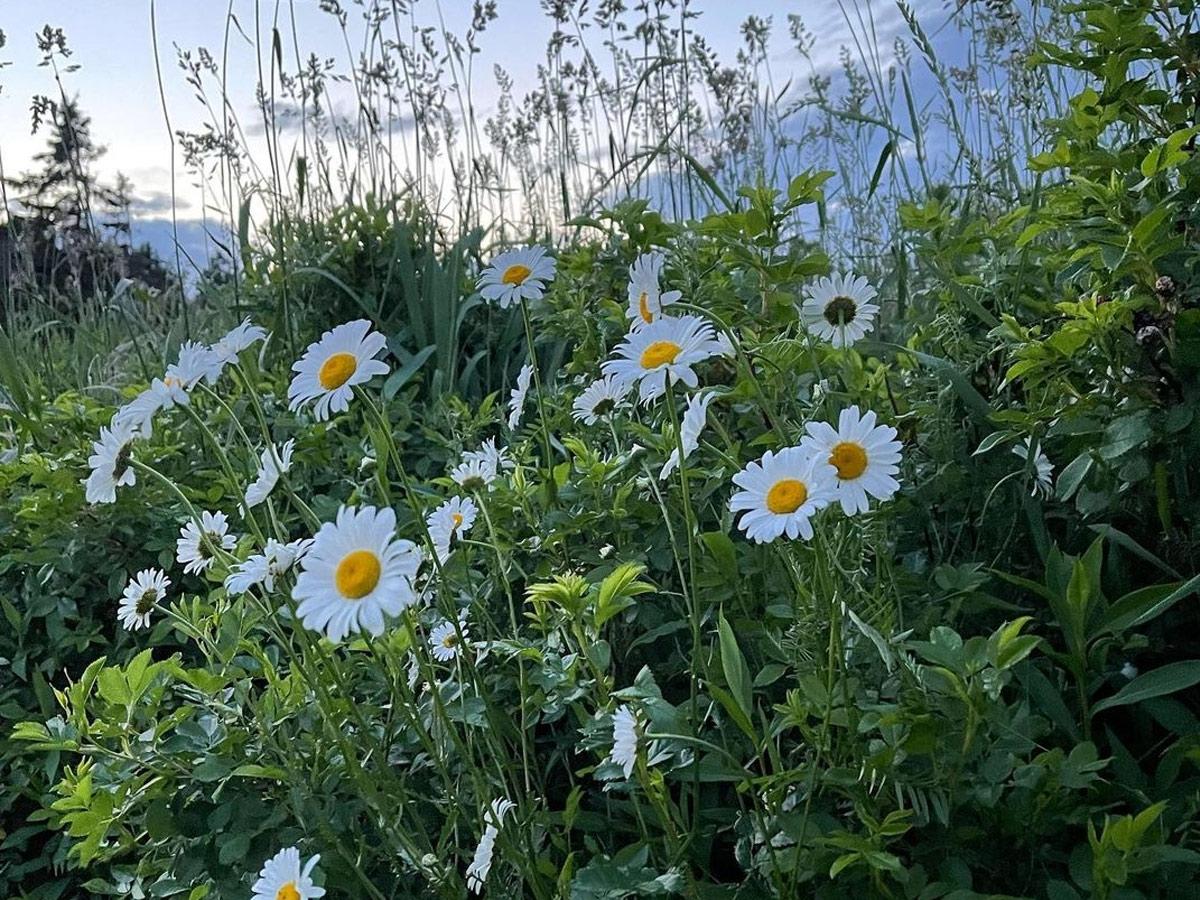 daisies-tim
